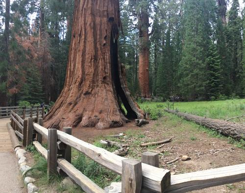 Pretty Big Trees. Sequoia National Parks. Visalia, CA